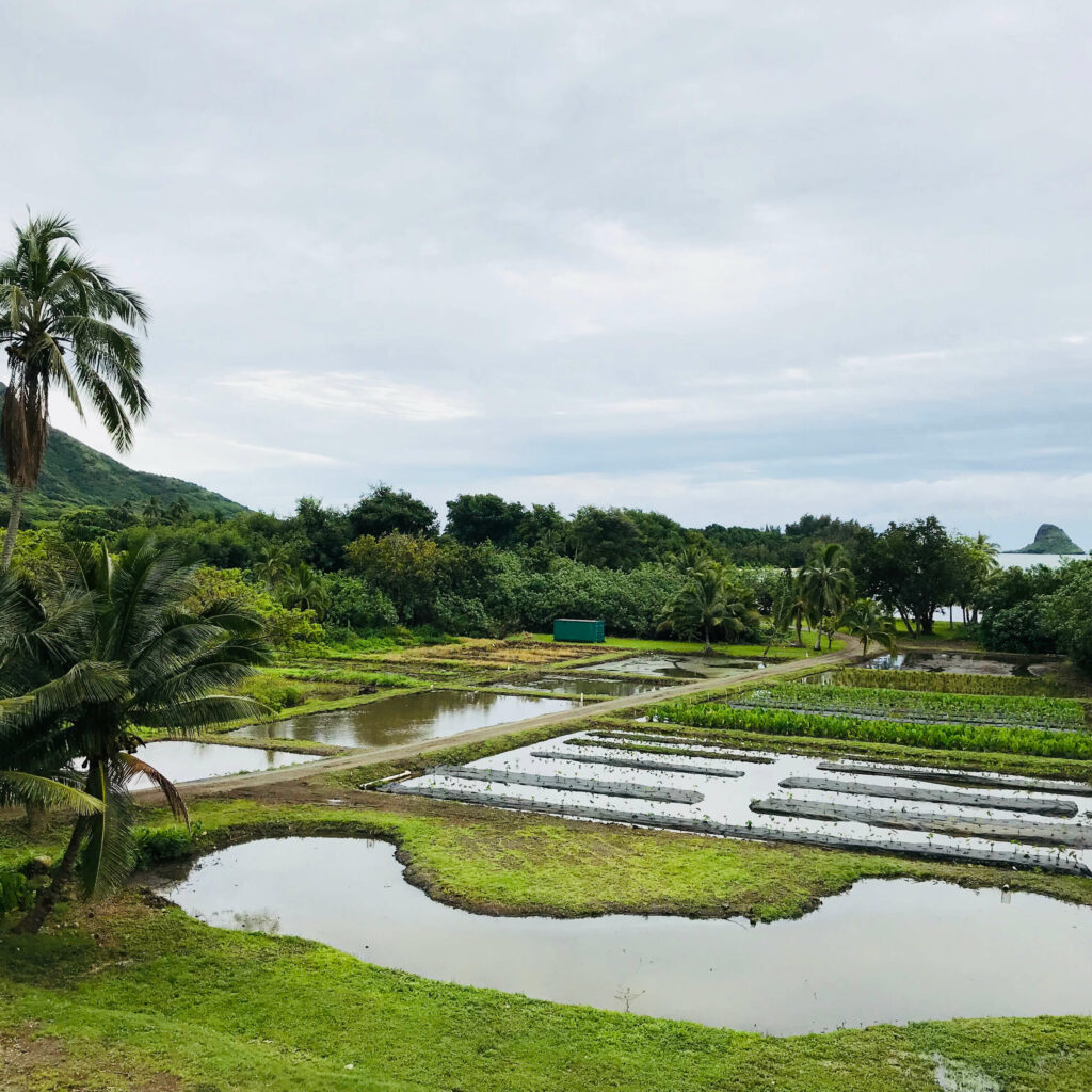 ハワイの米とタロイモの畑を再現した敷地